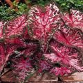 claret Herbaceous Plant Caladium Photo and characteristics
