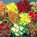 motley Herbaceous Plant Coleus Photo and characteristics