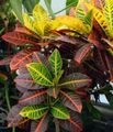 motley Herbaceous Plant Croton Photo and characteristics