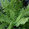 green Hanging Plant Sword Ferns Photo and characteristics