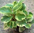 motley  Radiator Plant, Watermelon Begonias, Baby Rubber Plant Photo and characteristics