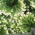 motley Herbaceous Plant Selaginella Photo and characteristics
